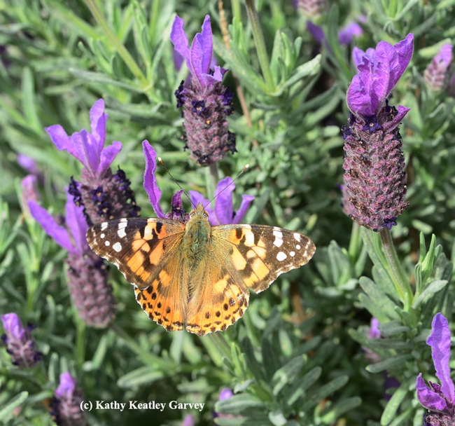 A female butterfly, a painted lady, nectaring on Spanish lavender on March 8 in the Benicia Community Garden. (Photo by Kathy Keatley Garvey)