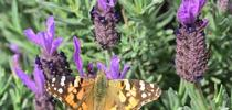 A female butterfly, a painted lady, nectaring on Spanish lavender on March 8 in the Benicia Community Garden. (Photo by Kathy Keatley Garvey) for Bug Squad Blog
