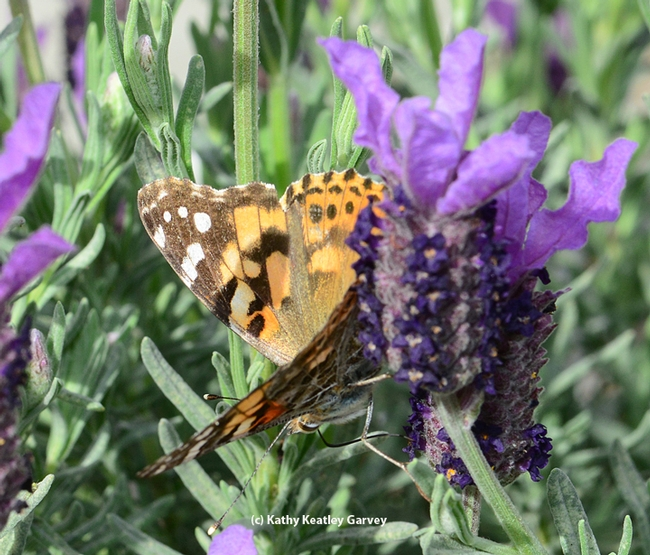 Painted lady twists around for a better shot at the nectar. (Photo by Kathy Keatley Garvey)