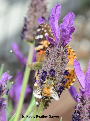 A honey bee and a painted lady sharing a Spanish lavender blossom. (Photo by Kathy Keatley Garvey)