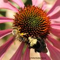 A honey bee and a yellow-faced bumble bee sharing a purple coneflower, Echinacea purpurea. (Photo by Kathy Keatley Garvey)