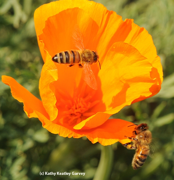 Two honey bees foraging on a California poppy. (Photo by Kathy Keatley Garvey)