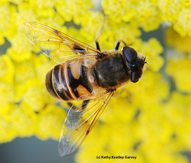 The drone fly, Eristalis tenax, is often mistaken for a bee. The fly has the letter