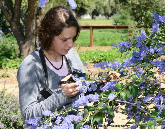 essie Brown, 14, a junior UC Master Gardener with the Lake Tahoe Master Gardeners, photographs insects in the ceanothus at the Häagen-Dazs Honey Bee Haven.  (Photo by Kathy Keatley Garvey)
