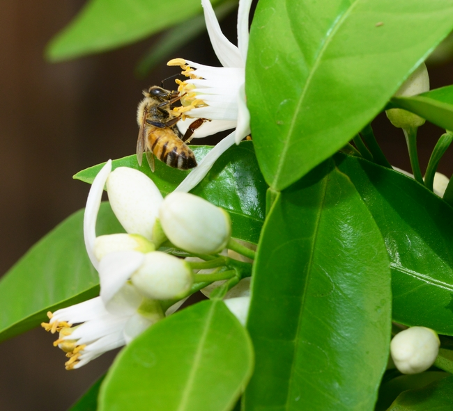A honey bee pollinating an orange blossom. (Photo by Kathy Keatley Garvey)
