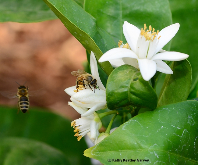 One bee forages while another takes flight. (Photo by Kathy Keatley Garvey)