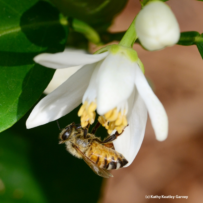 Close-up of honey bee on an orange blossom. (Photo by Kathy Keatley Garvey)