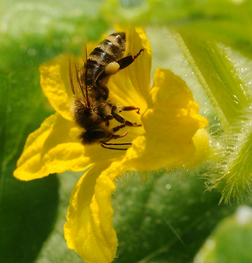 THE POLLEN LOAD on this honey bee, nectaring a cucumber blossom, is a bright yellow. (Photo by Kathy Keatley Garvey)