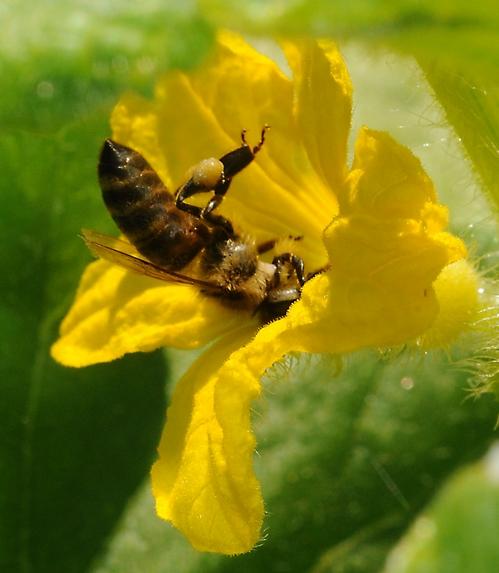 HONEY BEE, ready for flight, packs her pollen load. (Photo by Kathy Keatley Garvey)