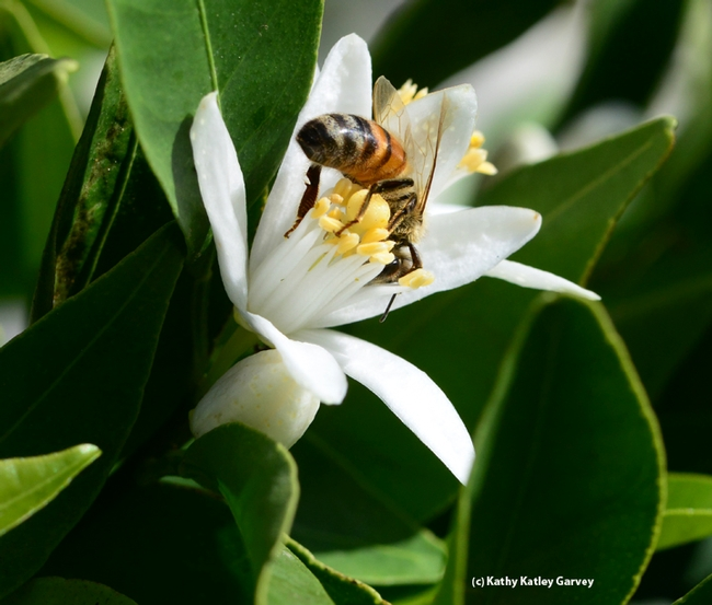 Acrobatic honey bee on a tangerine blossom. (Photo by Kathy Keatley Garvey)