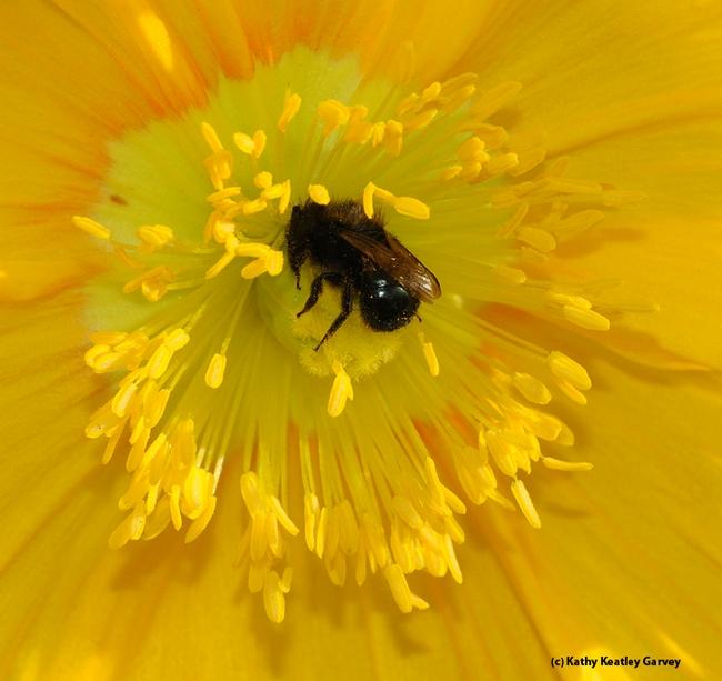 An Osmia (family Megachilidae) pollinating a flower. (Photo by Kathy Keatley Garvey)