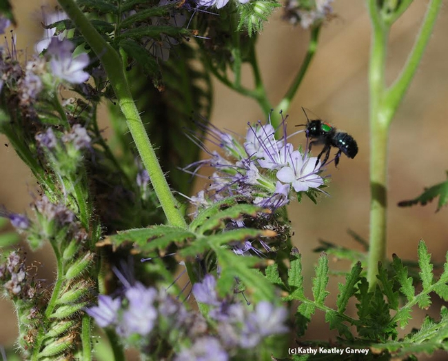 The blue orchard bee, Osmia lignaria, is one of the bees that Neal Williams' lab is studying. (Photo by Kathy Keatley Garvey)