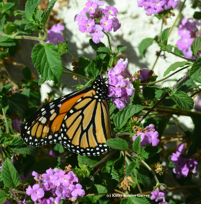 Monarch butterfly sightings are becoming more uncommon. (Photo by Kathy Keatley Garvey)