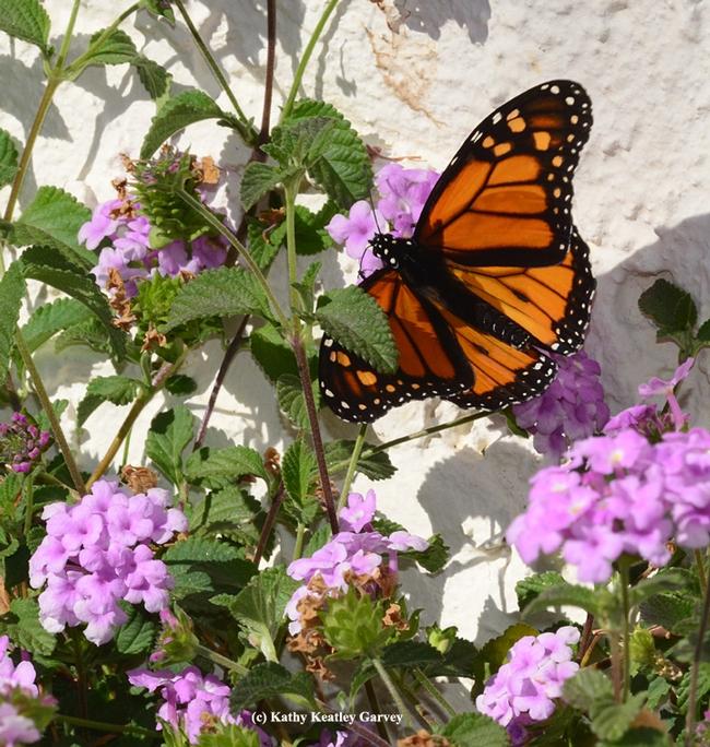 Monarch butterfly grabbing a sip of nectar from lantana. (Photo by Kathy Keatley Garvey)