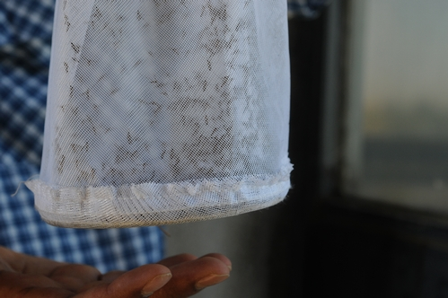 CLOSE-UP photo of a mesh bag of 2000 Culex mosquitoes shows them drawn to his hand below. He trapped the 2000 all in one night at the Yolo Causeway and has trapped as many as 3000 there in a single night. (Photo by Kathy Keatley Garvey)