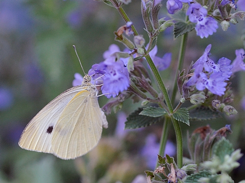 THIS CLOSE-UP shows the cabbage white butterfly, aka Lady in White, sipping nectar from catmint. (Photo by Kathy Keatley Garvey)