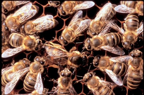 CLASSIC RETINUE--A queen bee is surrounded by her royal attendants--the retinue. (Photo courtesy of Susan Cobey, Harry H. Laidlaw Jr. Honey Bee Research Facility, UC Davis)