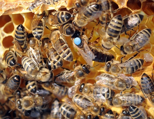 RETINUE--It's easy to tell which bees are the queen's retinue or royal attendants. They're NOT the ones--bottoms up--cleaning the cells. (Photo by Kathy Keatley Garvey)