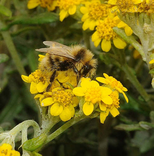 MALE BUMBLE BEE, a Bombus bifarius, nectaring coastal goldfields at Bodega Bay. (Photo by Kathy Keatley Garvey)