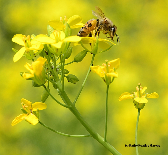 A honey bee foraging on rapini at the Harry H. Laidlaw Jr. Honey Bee Facility. (Photo by Kathy Keatley Garvey)