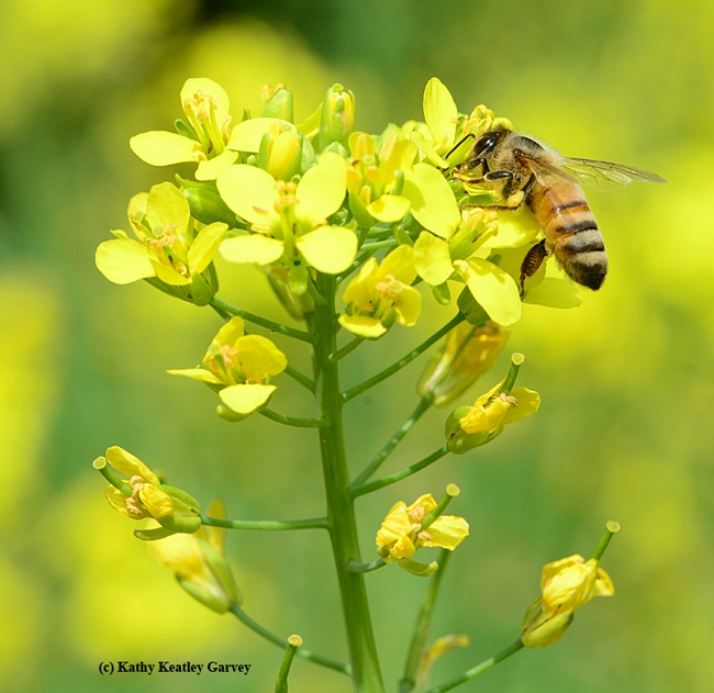Honey bee takes a liking to the rapini.  (Photo by Kathy Keatley Garvey)