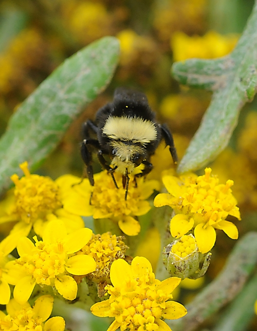 THIS BUMBLE BEE, a worker or female bee, is a Bombus vosnesenskii, the most common bumble bee at Bodega Bay. She is nectaring coastal goldfields (Lasthenia minor), a native wildflower. (Photo by Kathy Keatley Garvey)