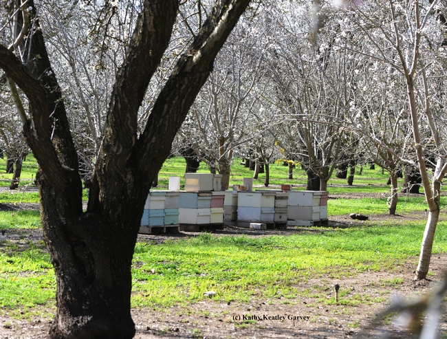 Almond growers need bees. Without bees, there would be no almonds. (Photo by Kathy Keatley Garvey)