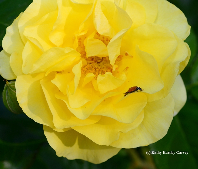 A ladybug foraging on a yellow rose, Sparkle and Shine. (Photo by Kathy Keatley Garvey)