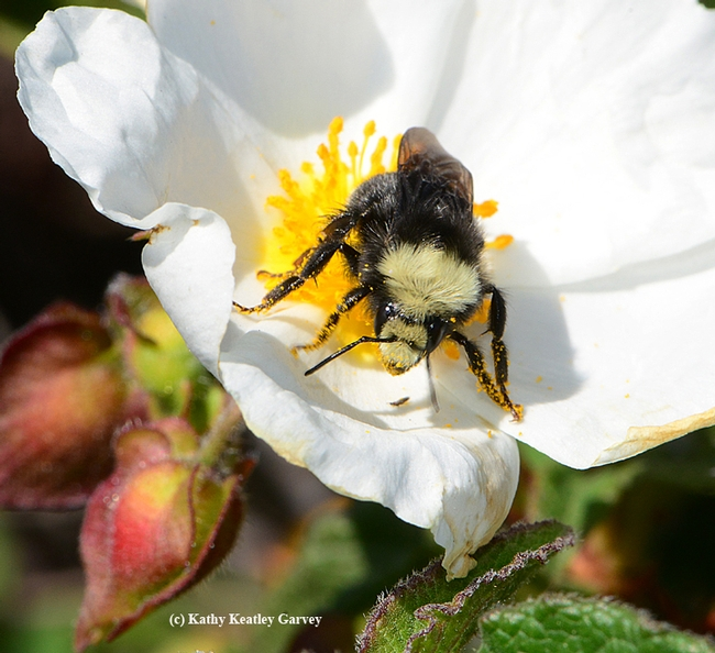 Yellow-faced bumble bee, Bombus vosnesenskii, foraging on rock rose. (Photo by Kathy Keatley Garvey)