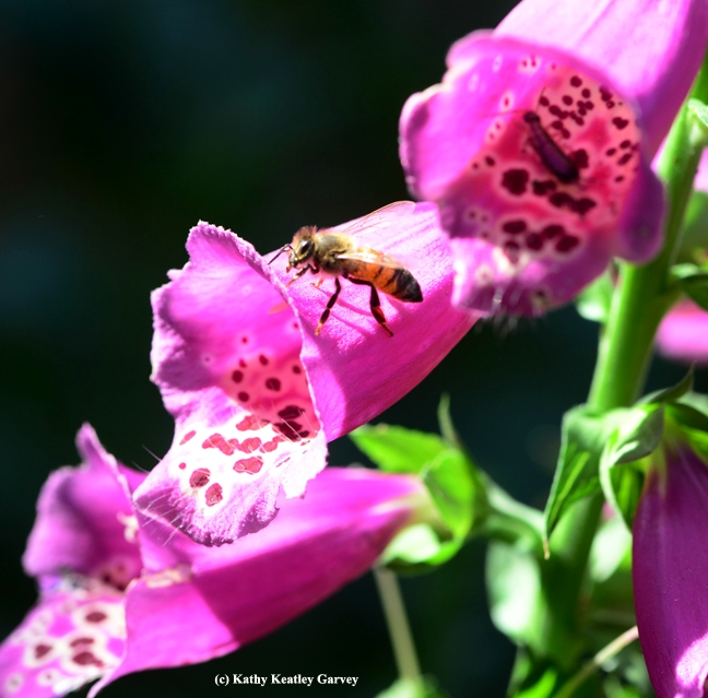 A honey bee seeks an entrance into the foxglove. (Photo by Kathy Keatley Garvey)