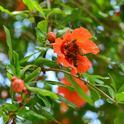 Honey bees clustering on pomegranate blossom. (Photo by Kathy Keatley Garvey)