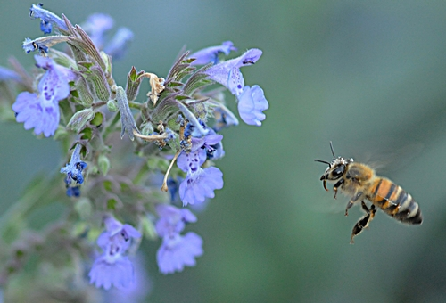HONEY BEE, with tongue extended, heads for catmint (Nepeta faassenii). This will be among the plants in the half-acre Häagen-Dazs Honey Bee Haven, to be open to the public Oct. 16 on Bee Biology Road, UC Davis. (Photo by Kathy Keatley Garvey)