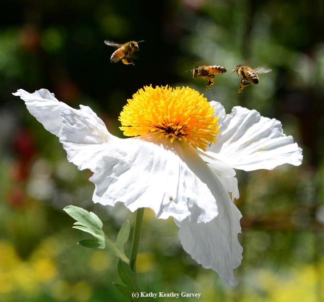 A bee ballet over a Matilija poppy. (Photo by Kathy Keatley Garvey)