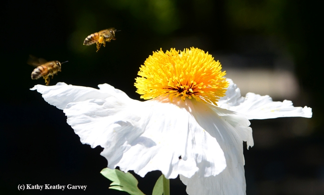 Honey bee going for the gold. (Photo by Kathy Keatley Garvey)