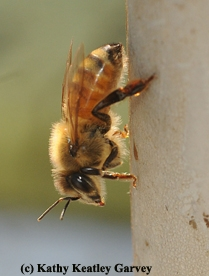 Honey bees are in trouble. (Photo by Kathy Keatley Garvey)