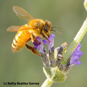 Italian honey bee on lavender. (Photo by Kathy Keatley Garvey)