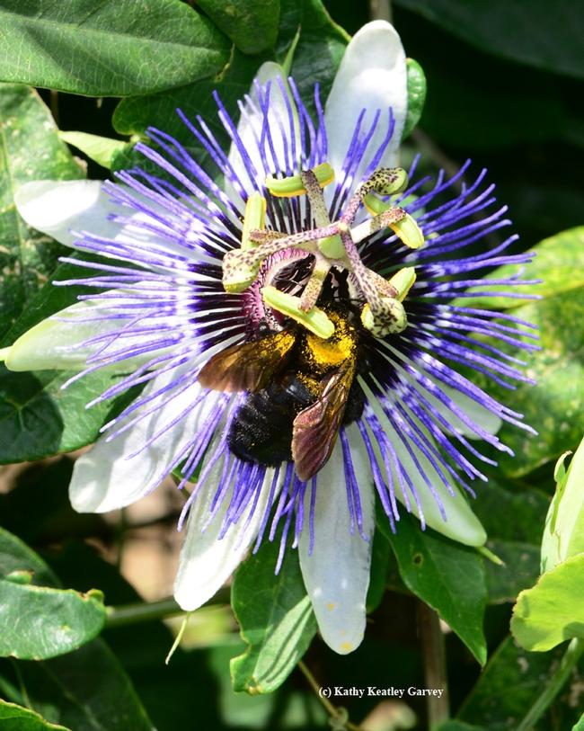A Valley carpenter bee receives a brush of pollen. (Photo by Kathy Keatley Garvey)