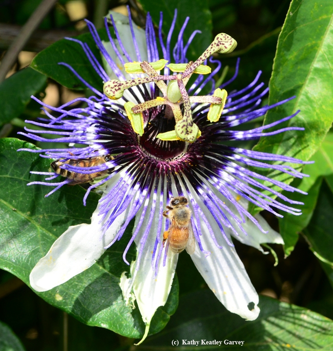 Honey bees frequent the passion flowers, too. (Photo by Kathy Keatley Garvey)