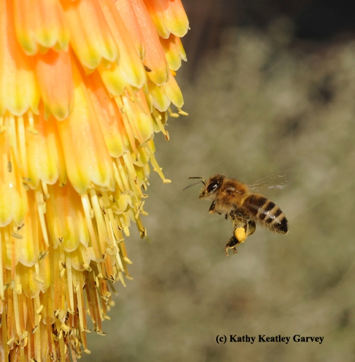 A honey bee, loaded with pollen, heads for Kniphofia