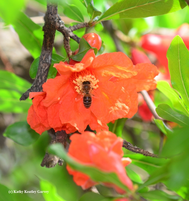 Honey bee foraging on a pomegranate blossom. (Photo by Kathy Keatley Garvey)