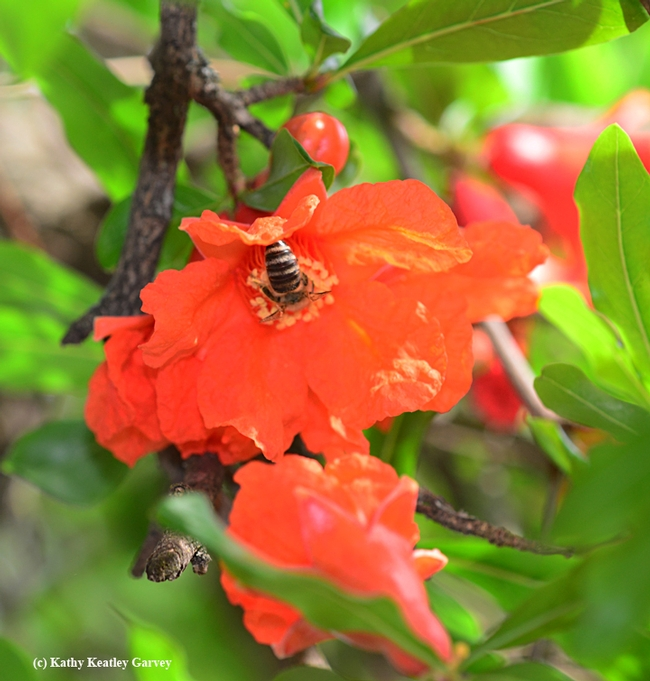 Bottoms up! Honey bee delves deep into a pomegranate blossom. (Photo by Kathy Keatley Garvey)