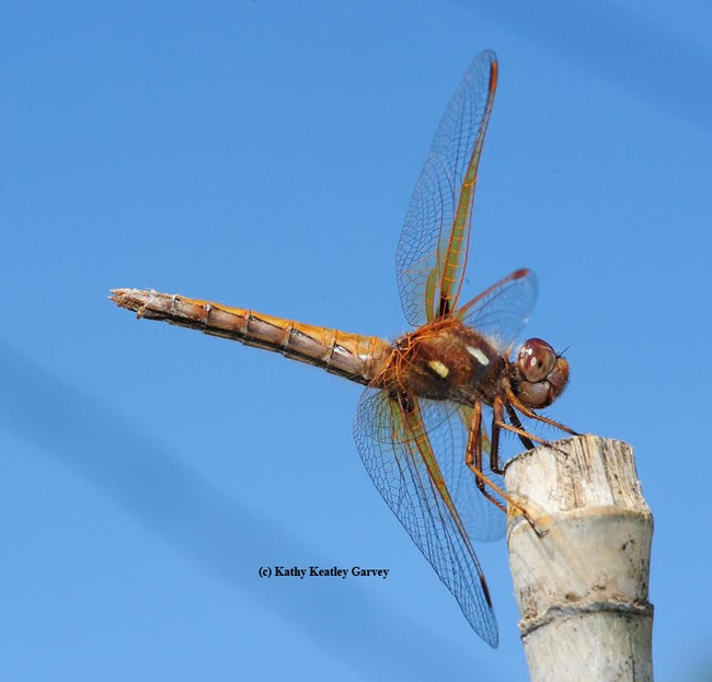 Red-veined meadowhawk, Sympetrum madidum, perches on a stake. (Photo by Kathy Keatley Garvey)