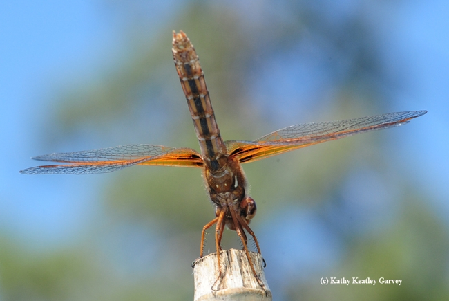 A different angle of the red-veined meadowhawk. (Photo by Kathy Keatley Garvey)