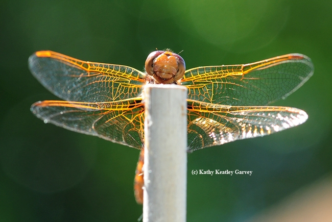 Front view of the red-veined meadowhawk. (Photo by Kathy Keatley Garvey)