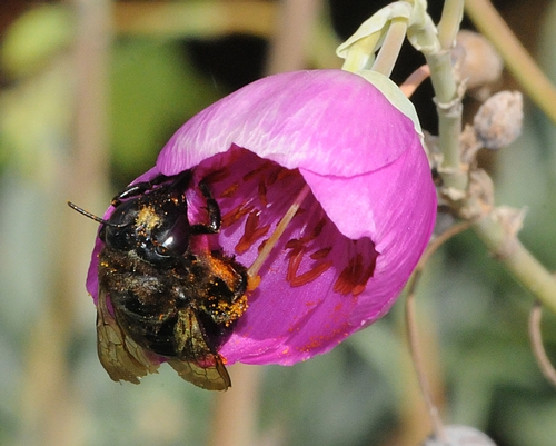 Pollen-Covered Carpenter Bee