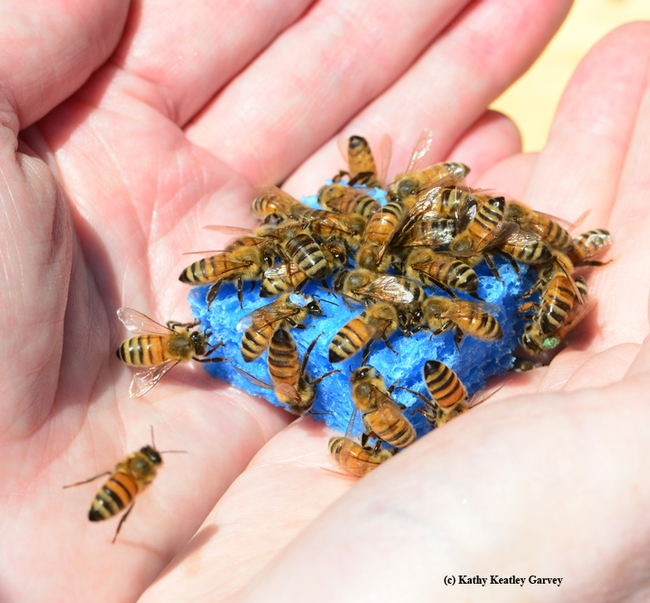 A handful of bees, held by Barbara Allen-Diaz. (Photo by Kathy Keatley Garvey)