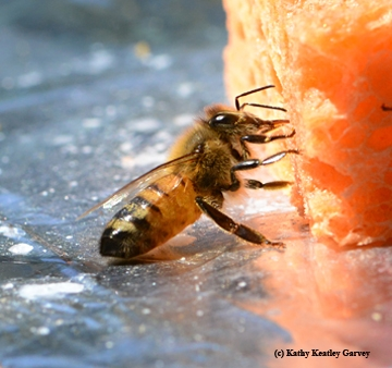 Honey bee sipping nectar from a sponge. (Photo by Kathy Keatley Garvey)