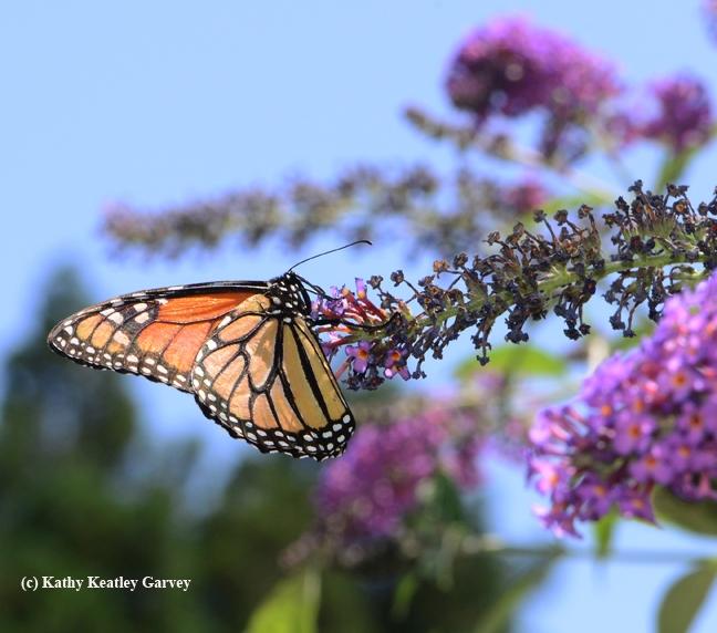 A monarch butterfly on a butterfly bush. (Photo by Kathy Keatley Garvey)