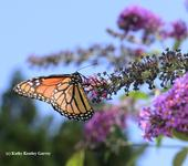 A monarch butterfly on a butterfly bush. (Photo by Kathy Keatley Garvey)