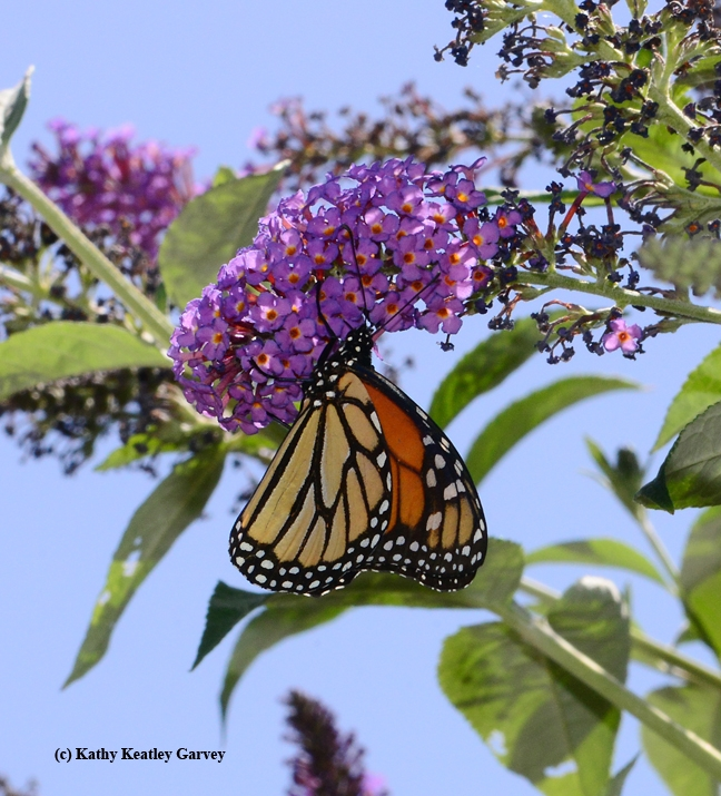 Monarch butterfly finds just the right blossom. (Photo by Kathy Keatley Garvey)